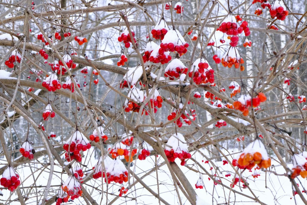 Snow-covered Guelder Rose Berries