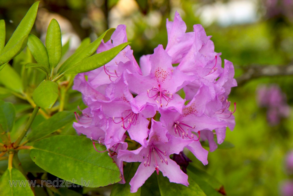 , Katavbas rododendrs (Rhododendron catawbiense), Rododendri (Rhododendron), Rododendri, Ziedi