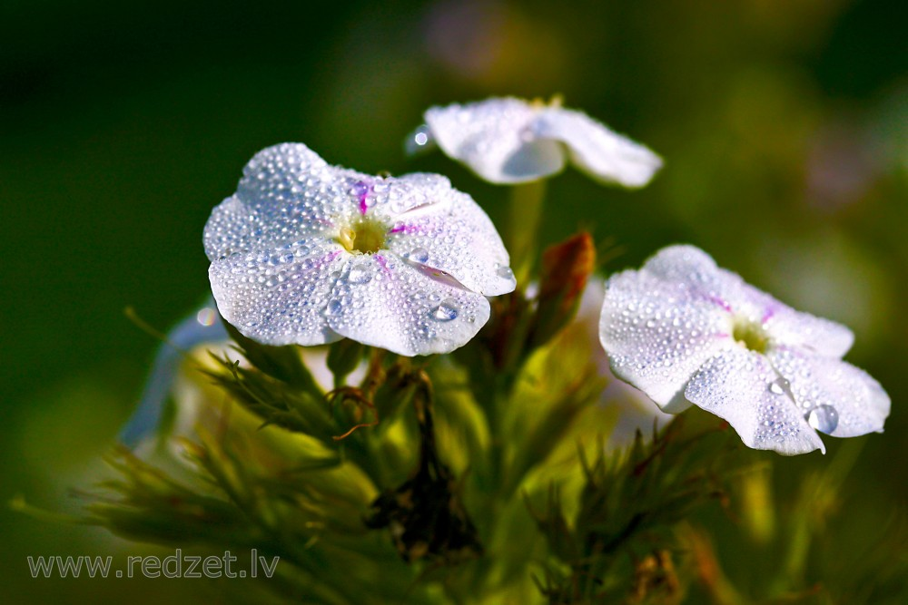 Phlox flower in drops of morning dew, Skarainais floksis (Phlox paniculata), Flokši, Rasa, Ziedi