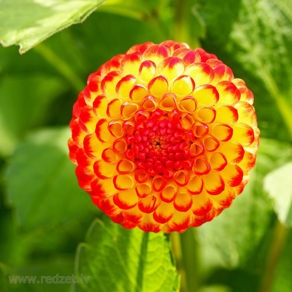 Dahlia Flower Dahlia Redzet