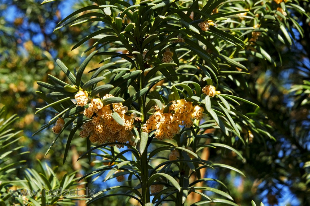 Common Yew's Male Flowers