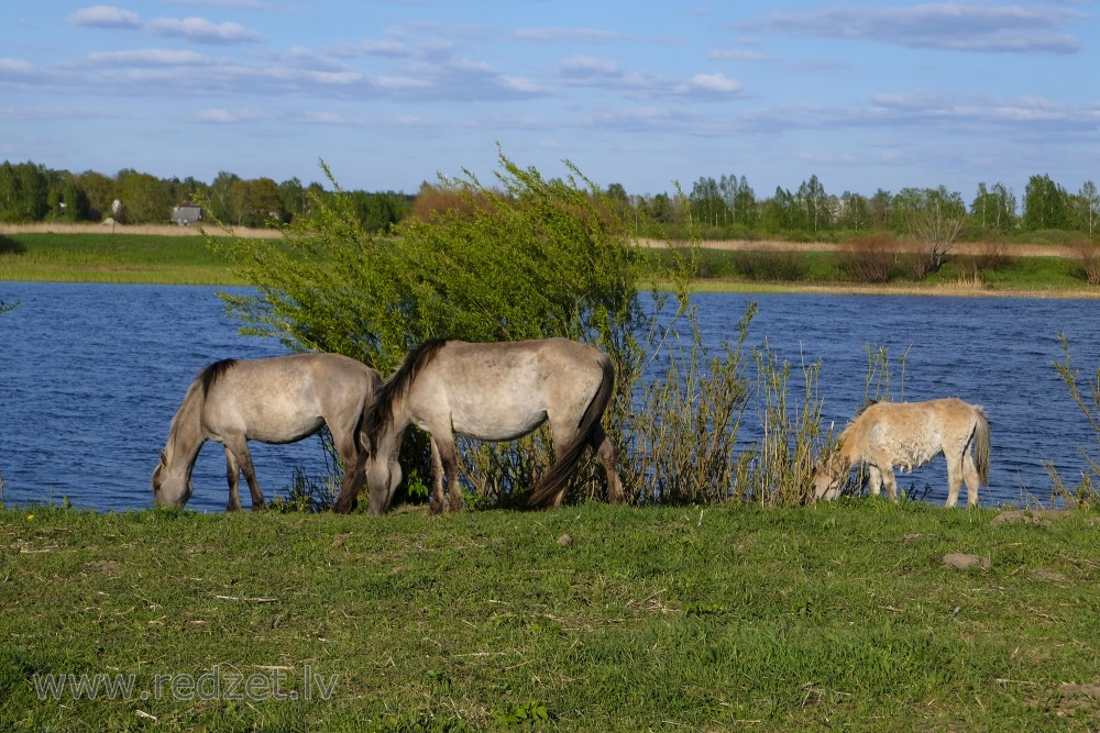 Wild Horses and Foal in Jelgava Palace Island, Lielupe Floodland Meadows