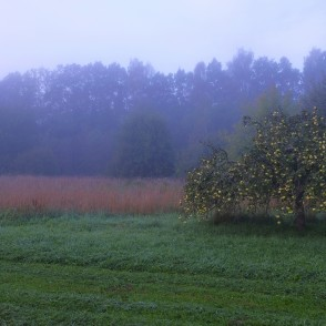 Apple trees on a foggy morning