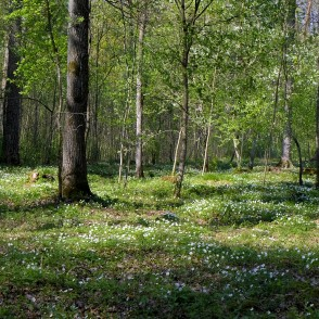 Carpet of Wood Anemones in Langervalde Forest