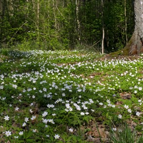 Blossom of Wood Anemone in Langervalde Forest