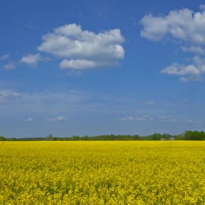Flowering Rape Field Panorama and Clouds
