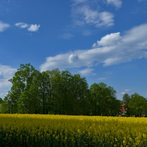 Flowering Rape Field, Countryside Landscape