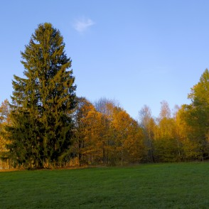 Autumn Landscape and Norway spruce