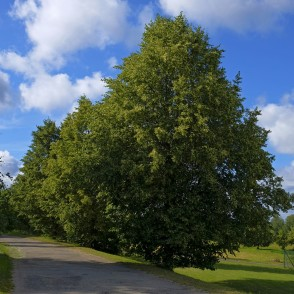 Flowering Linden Trees By The Roadside