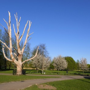 Veteran Wych Elm and Flowering Sakuras in Victory Park, Riga