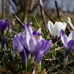 Crocus in Garden