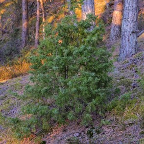Juniper in a Pine Forest