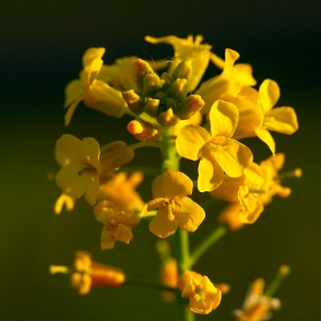 Brassica napus in flower