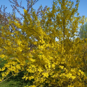 Flowering Forsythia Bush