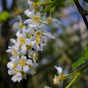 Close up of Bird cherry Flowers