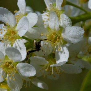 Close up of Bird cherry Flowers and Spider