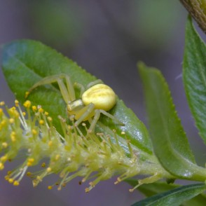 Crab spider and Willow Catkins