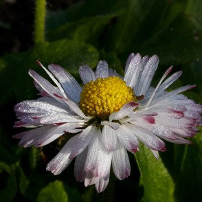 Dew Drops on a Common daisy