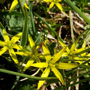 Yellow Star-of-Bethlehem and Bumblebee