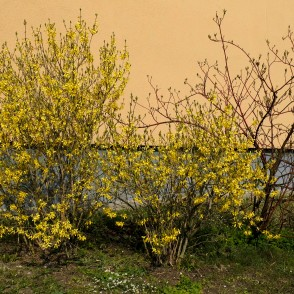 Flowering Forsythia and Red-barked Dogwood