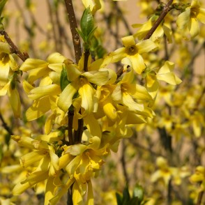 Closeup of Forsythia