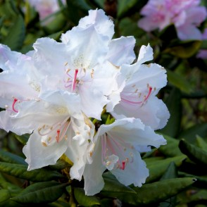 White Rhododendron Fowers