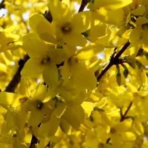 Under Forsythia Bush