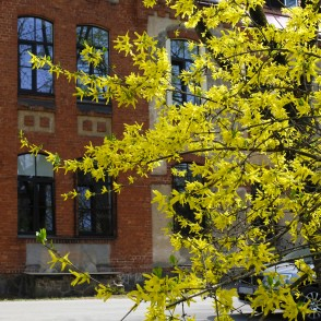 Forsythia in Pauls Stradiņš Clinical University Hospital Territory