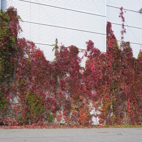 Magnificence of Virginia Creeper