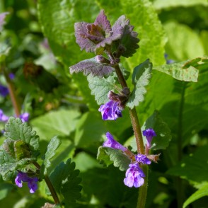 Ground-ivy, Gill-over-the-ground, Creeping charlie, Alehoof, Tunhoof, Catsfoot, Field balm