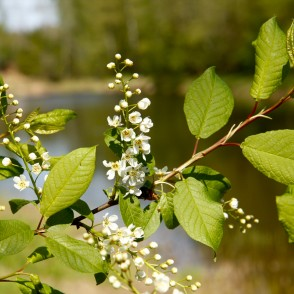 Flowering Bird cherry Branch