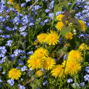Wood forget-me-not and Common Dandelion