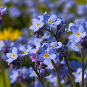 Wood forget-me-not, or Woodland forget-me-not