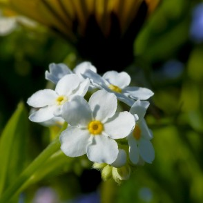 White Wood forget-me-not