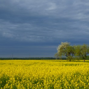 Flowering Rape Field and Dark Sky