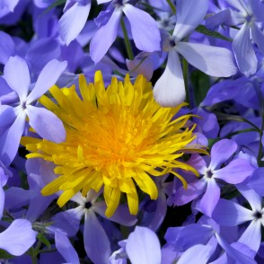 Common Dandelion and Wild blue phlox
