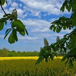 Flowering Rape Field and Horse-chestnut