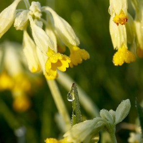 Dew Drops on a Common Cowslip