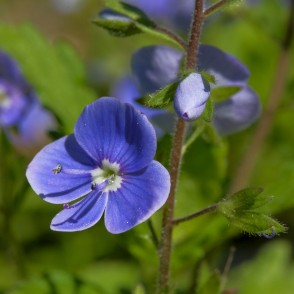 Close up of Germander speedwell