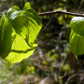 New Leaves of Linden