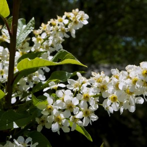Blooming Bird Cherry Branch