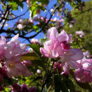 Flowers of Ornamental Apple Tree
