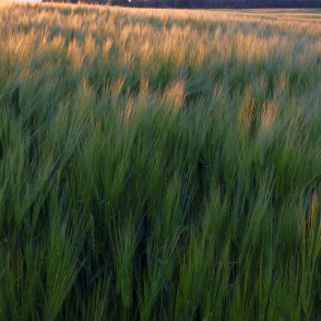 Barley in the Evening Light