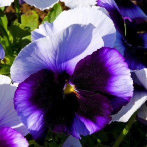 Blue Spotted Pansies