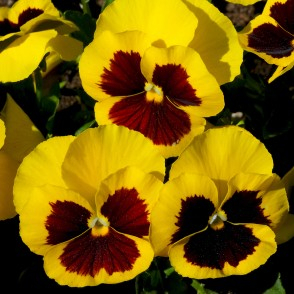 Yellow-brown Pansies