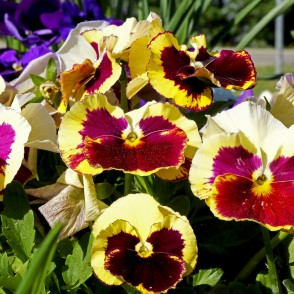 Yellow, Brown, Pink Colored Pansies
