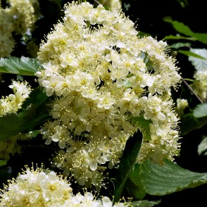 Flowers of Swedish Whitebeam