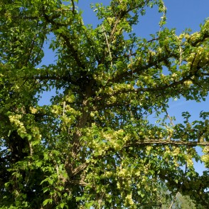 Weeping Cork-barked Elm