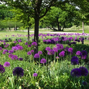 Ornamental Onions in Victory Park