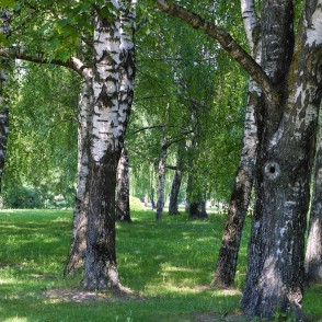 Birch Trunks and Shade at Noon